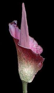 Le konjac : une plante à effet coupe-faim