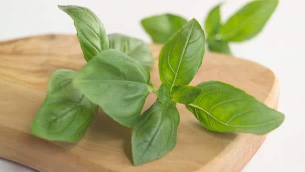 Le Basilic : une plante médicinale par excellence