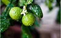 L'huile essentielle de Bergamote